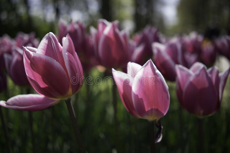 Dutch Pink Tulips royalty free stock images