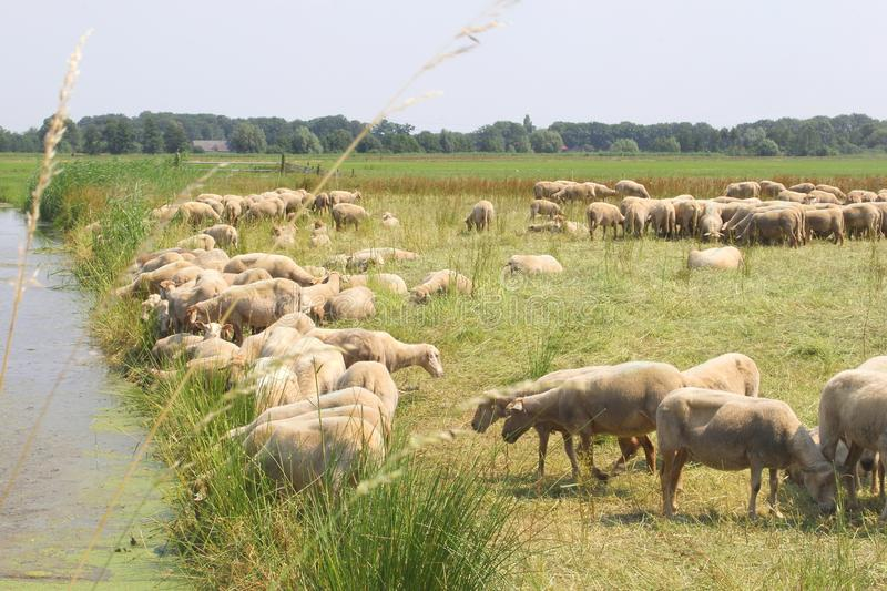 Dutch polder landscape,flock of sheep at riverside, Soest, Netherlands. Dutch polder landscape with a ditch and a flock of sheep royalty free stock image