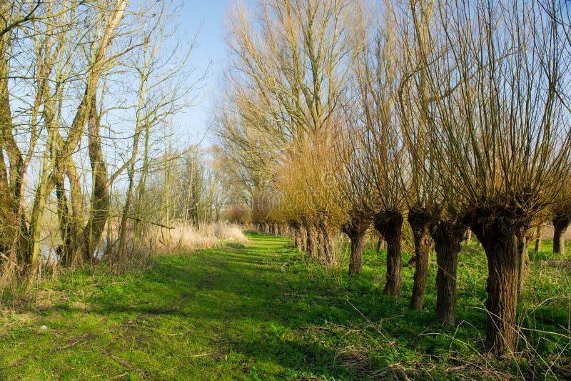 Dutch Pollard Willows Stock Image