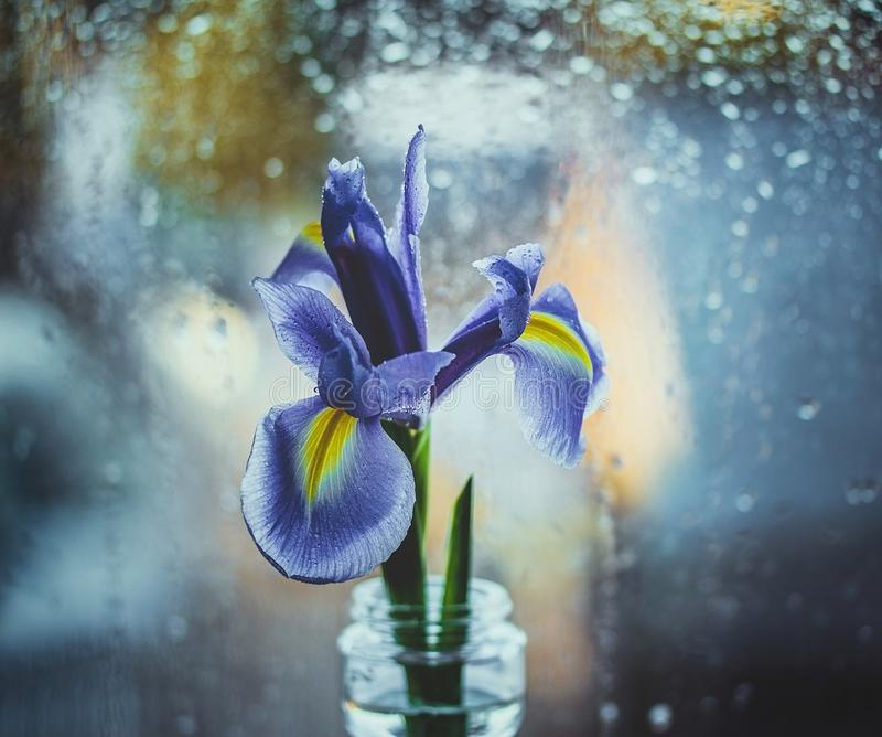 Dutch purple iris in a vase by the window. Bright iris on a blue blurred background with water drops. Bokeh macro, close-up. stock photos