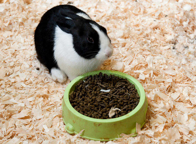 Dutch rabbit. Black and white dutch rabbit on hay eating ration stock photos