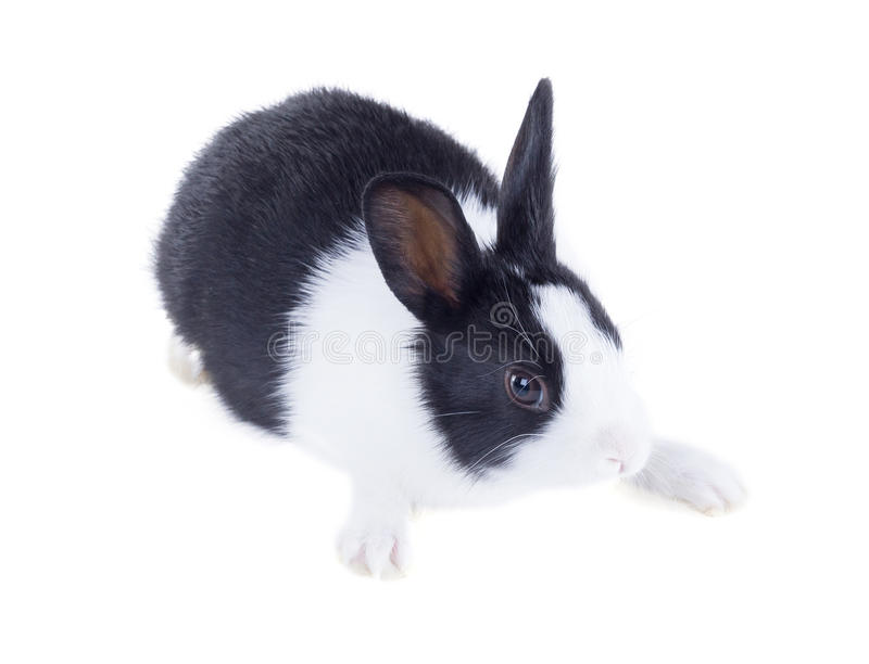 The Dutch rabbit, also known as Hollander or Brabander. Isolated. On white background stock images