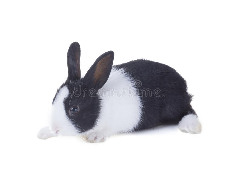 The Dutch rabbit. Isolated on white background. The Dutch rabbit, also known as Hollander or Brabander. Isolated on white background royalty free stock photos
