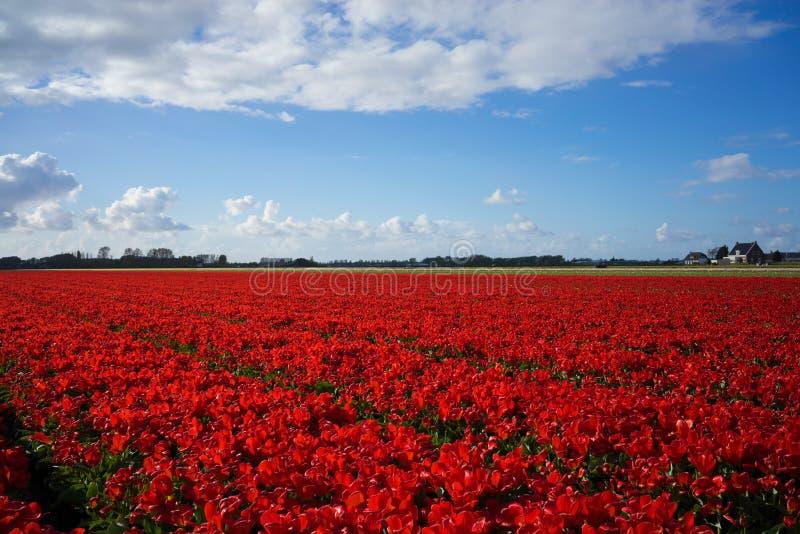 Dutch Red Flower Fields 1 stock photos