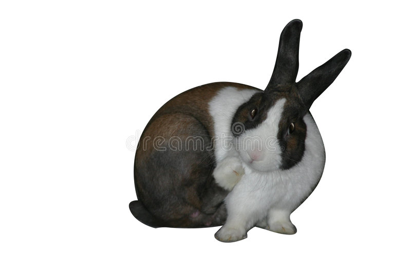 Dutch Rub. Dutch rabbit scratching with his hind leg. Isolated on white background stock photos