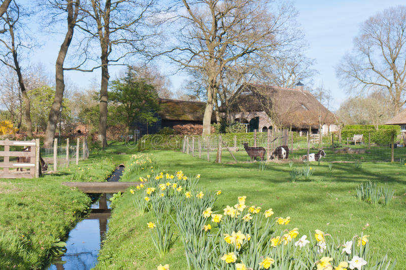 Dutch rural scene with farmhouse and goats royalty free stock image