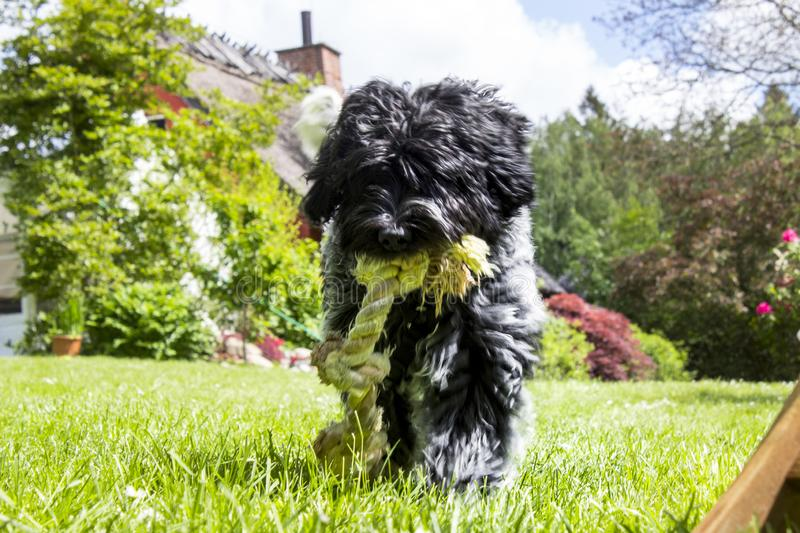 Schapendoes puppy walking towards screen with rope royalty free stock photo