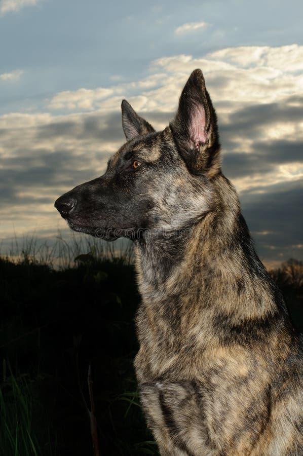 Dutch shepherd stock photography
