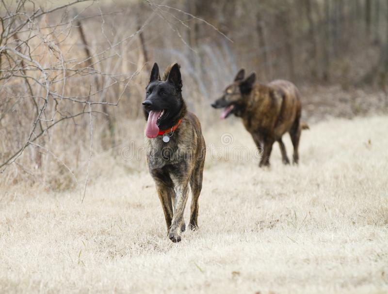 Dutch Shepherd Dogs, young and old royalty free stock photos
