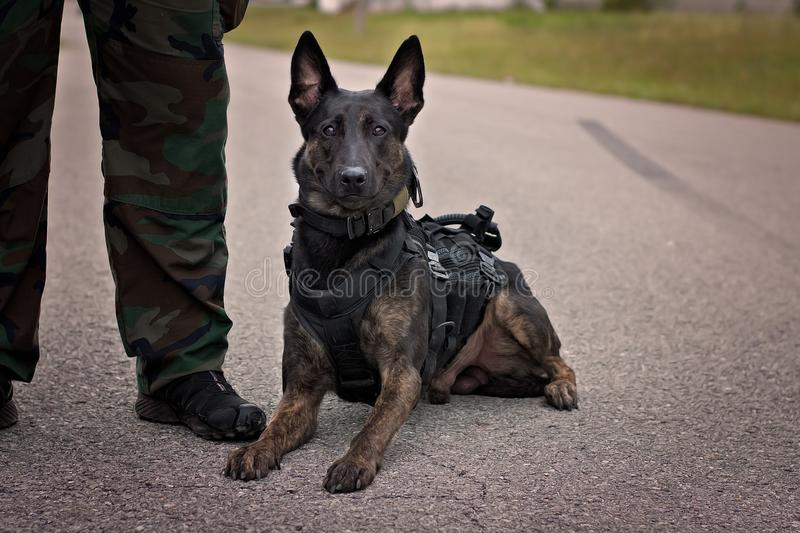 Dutch Shepherd police dog. Wears a harness system for tracking royalty free stock photo