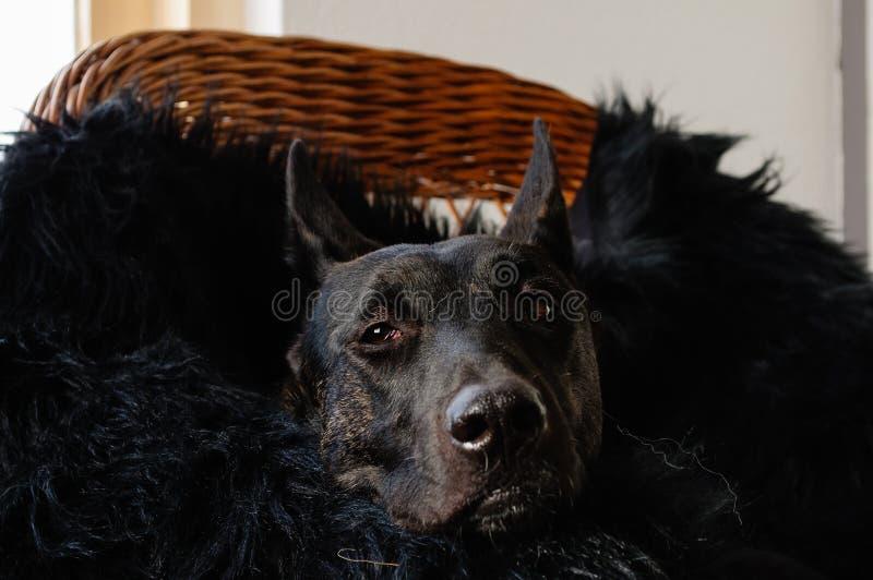 Dutch Shepherd relaxing stock photography