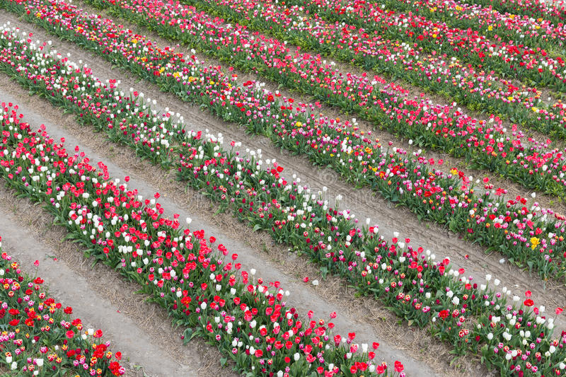 Dutch show garden with lines of varicolored tulips stock images