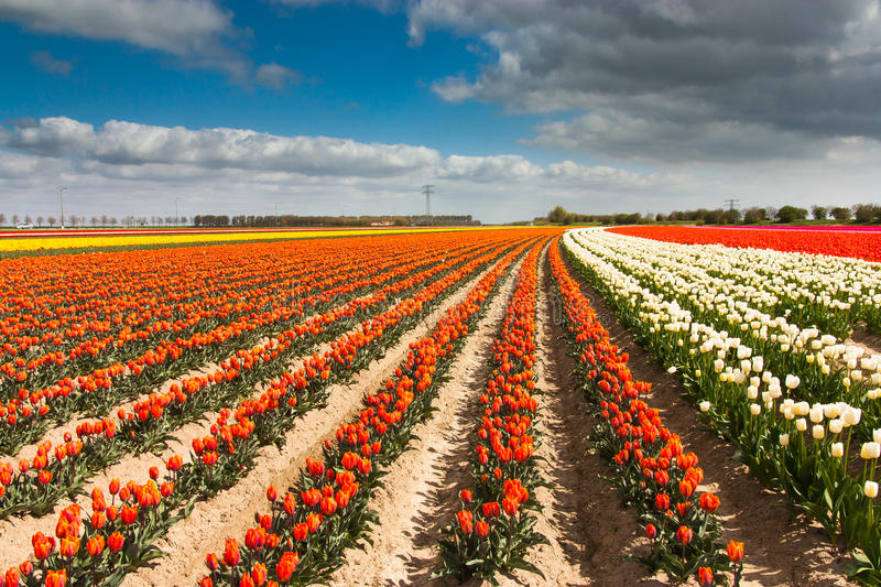 Dutch Tulip Field Stock Photo