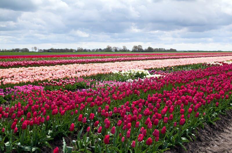Dutch tulip fields. Rows of tulip fields in Schagen in Netherlands royalty free stock photo