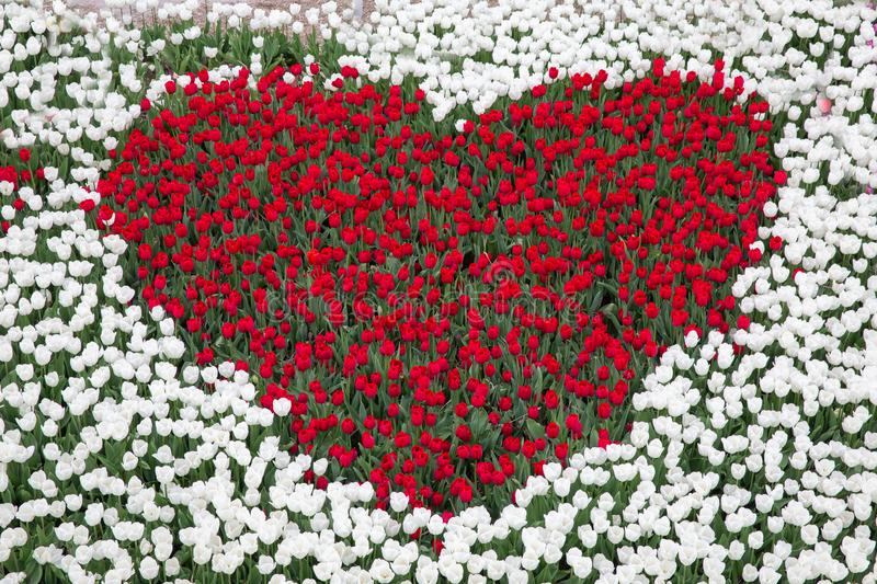 Tulip garden with red tulips in shape of a heart royalty free stock images