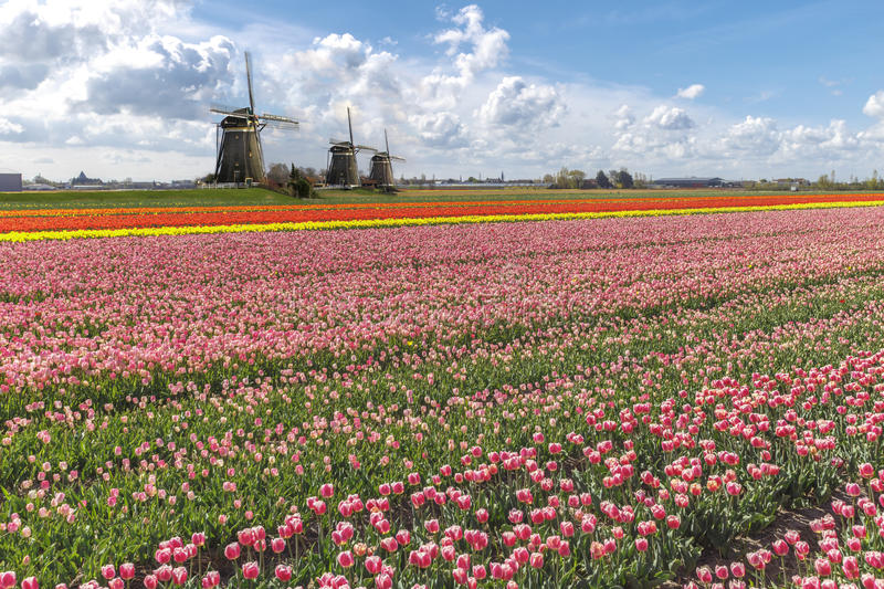 Dutch Tulip Windmill Landscape stock images