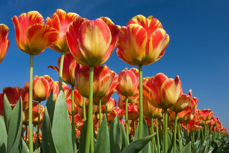 Dutch Tulips. Tulip on the Dutch formet seabottom royalty free stock image