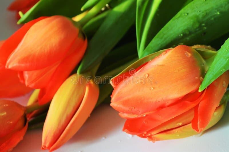 Dutch tulips stock photos
