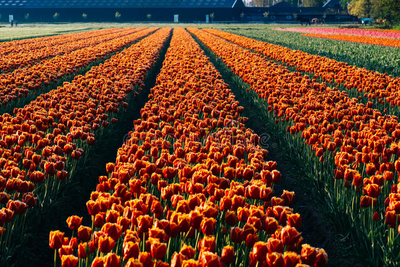 Dutch tulips stock photos
