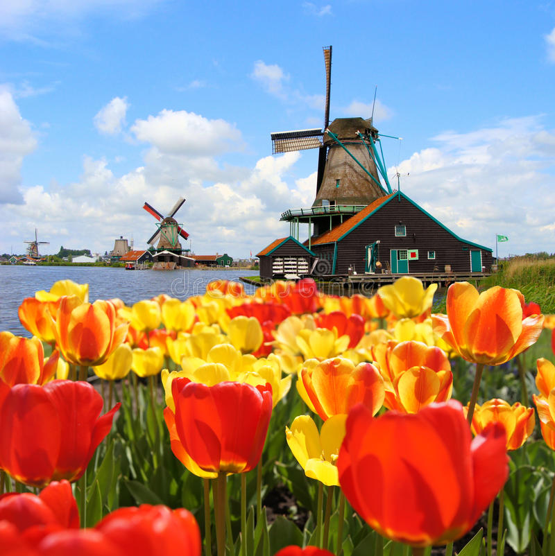 Dutch tulips and windmills. Traditional Dutch windmills with vibrant tulips at Zaanse Schans, Netherlands stock image