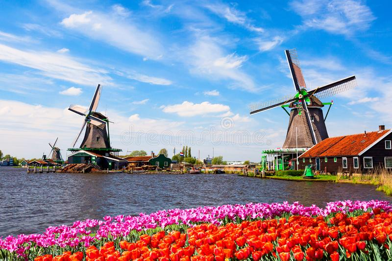 Dutch typical landscape. Traditional old dutch windmills with house, blue sky near river with tulips flowers flowerbed in the. Zaanse Schans village royalty free stock images