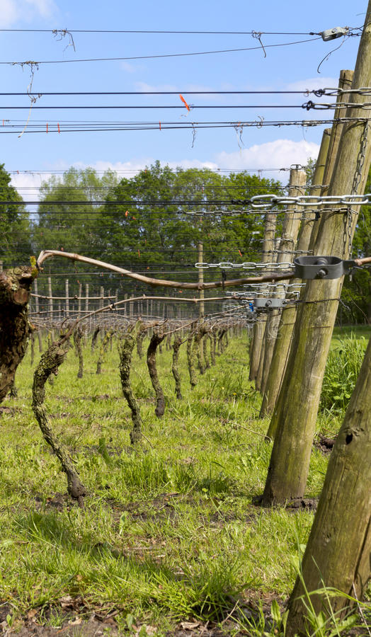Dutch vinyard in the spring. Supporting posts in a row on a Dutch vinyard in the spring royalty free stock photo