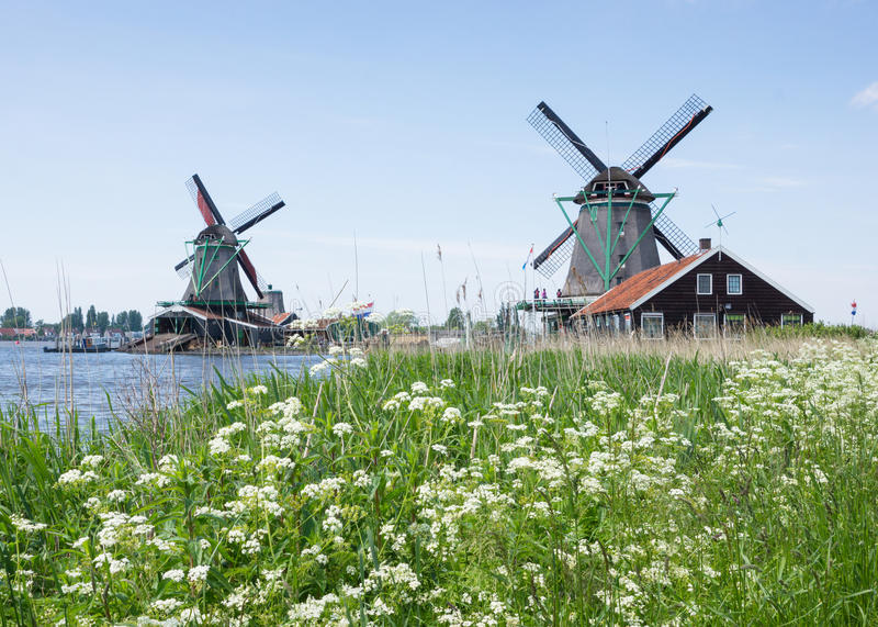 Dutch windmills in the country. With white flowers by the lake at Kinderdijk, the Netherlands