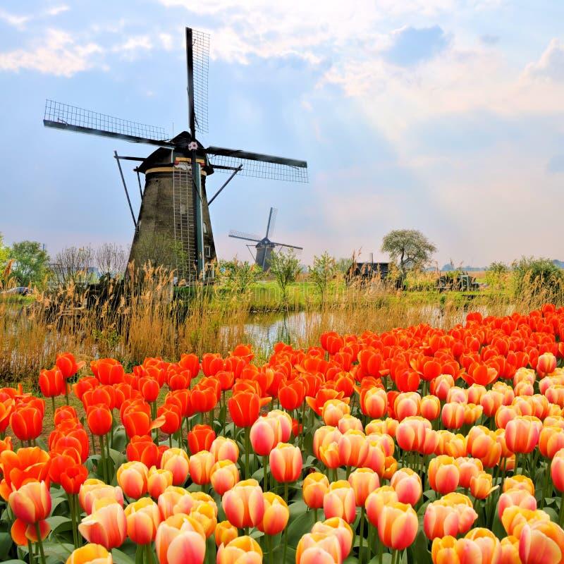 Dutch windmills and tulips stock photo