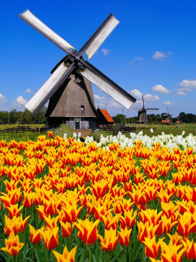 Dutch windmills and tulips stock photography