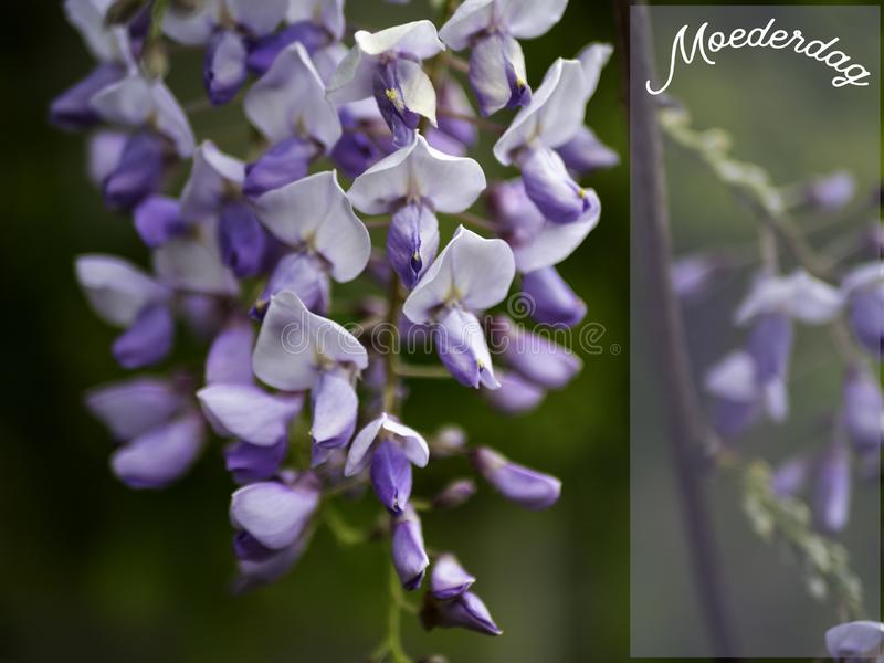 Mothers Day image with a beautiful wisteria. royalty free stock photo