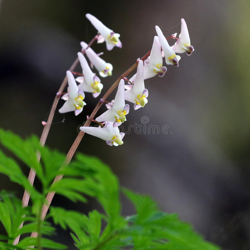 Dutchman`s Breeches. Dicentra cucullaria royalty free stock images