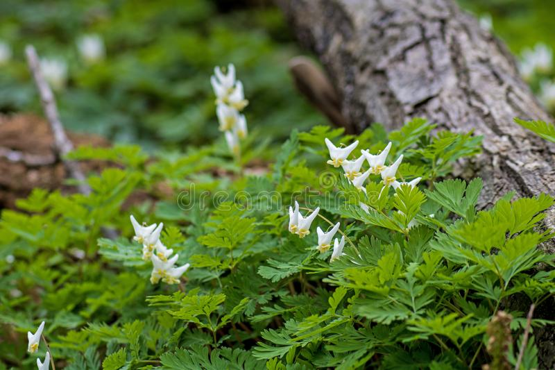 Dutchman`s Breeches Wild Flower On The Forest Floor. The uniquely shaped white and yellow Dutchman`s Breeches photographed in a bunch, alongside a fallen tree in royalty free stock photo