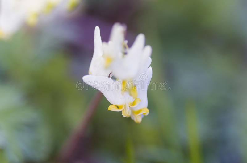 Dutchman`s Breeches. Are a wildflower that bloom in early spring stock photos