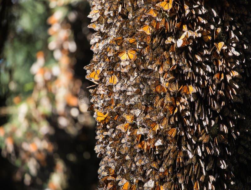 Dutzende Monarchfalter auf Oyamel-Tannen-Baumstamm lizenzfreie stockbilder