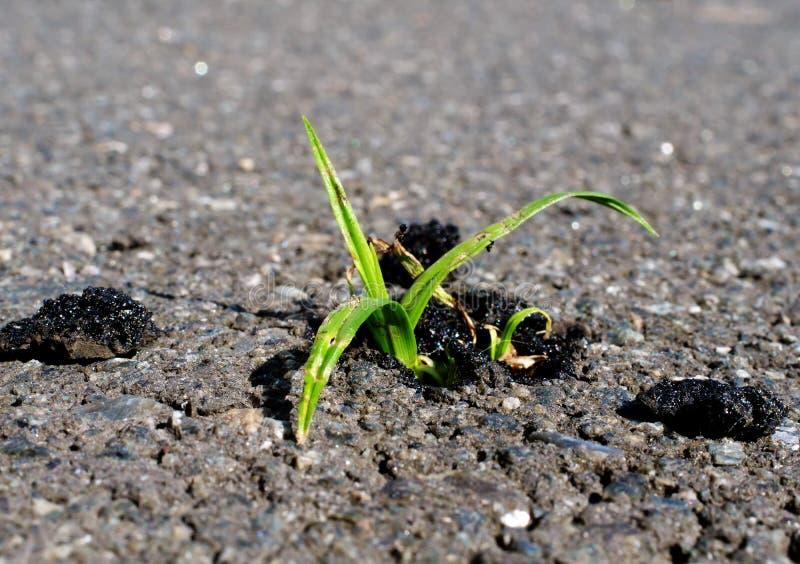 Duur en Succes in bedrijfsconcept voort Groene installatie het groeien van asfalt stock foto