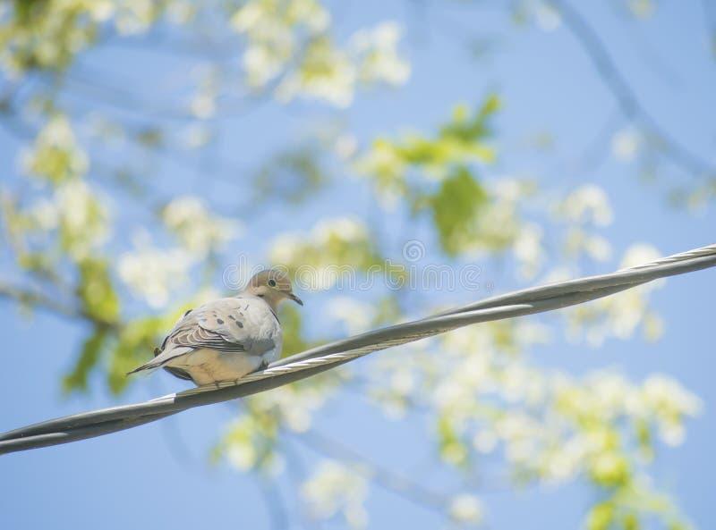 Duva Fågelduvan, dök fågeln fotografering för bildbyråer