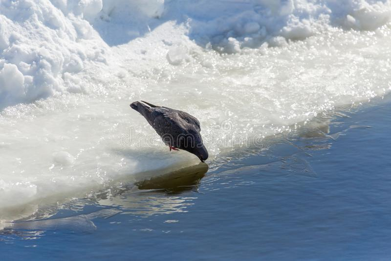 Duva på isen av floden övervintrar trees för snow för sky för lies för frost för mörk dag för bluefilialer En fågel dricker vatte arkivbild