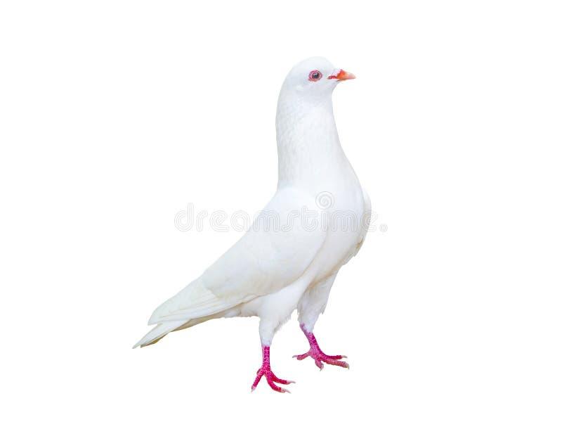 Duvafågel som isoleras på vit royaltyfria bilder
