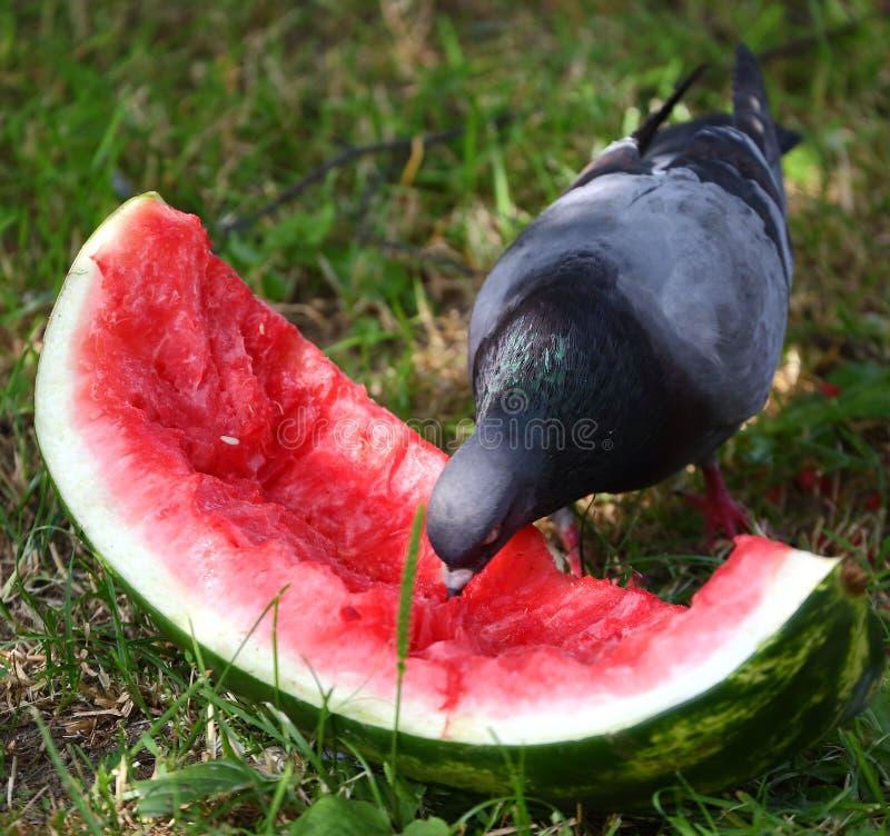 Duvan pickar ett stycke av den röda mogna vattenmelon royaltyfri foto