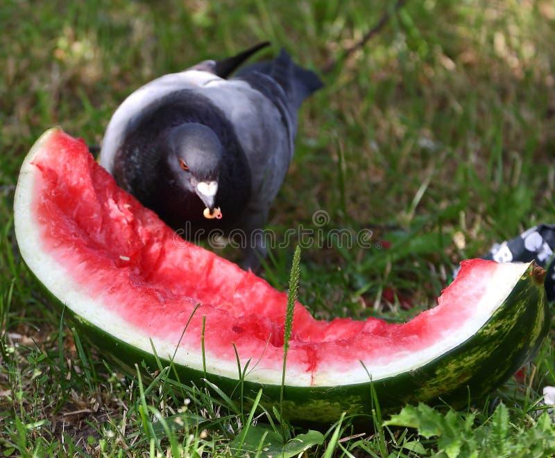 Duvan pickar ett stycke av den röda mogna vattenmelon royaltyfria bilder