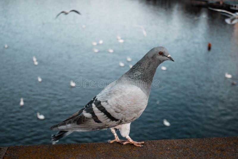 Duvan sitter på balustraden på bakgrunden av vatten close upp Fågel på bron vid floden arkivfoto