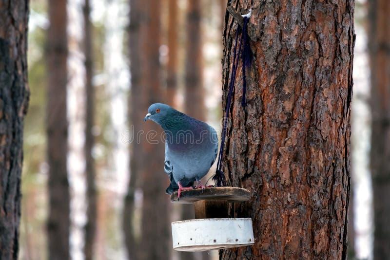 Duvasammanträde på matning, som har gjort av deras händer en verklig fågelförlagematare, en pinjeskog i bakgrunden royaltyfria foton