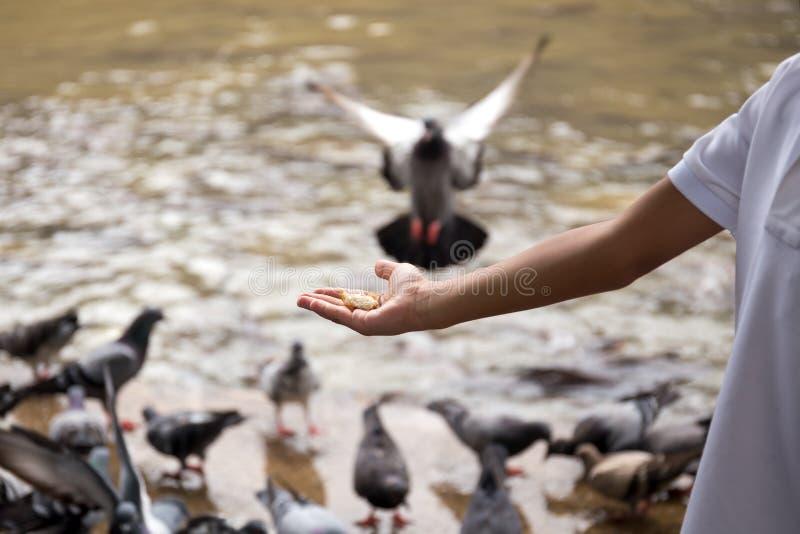Duvor för matningar för hand för barn` s med bröd vid floden royaltyfria bilder