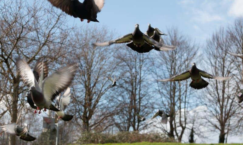 Duvor i Bristol parkerar royaltyfria foton