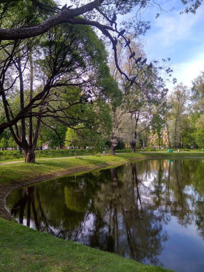 Duvor i ett träd ovanför dammet på en solig sommardag arkivfoton