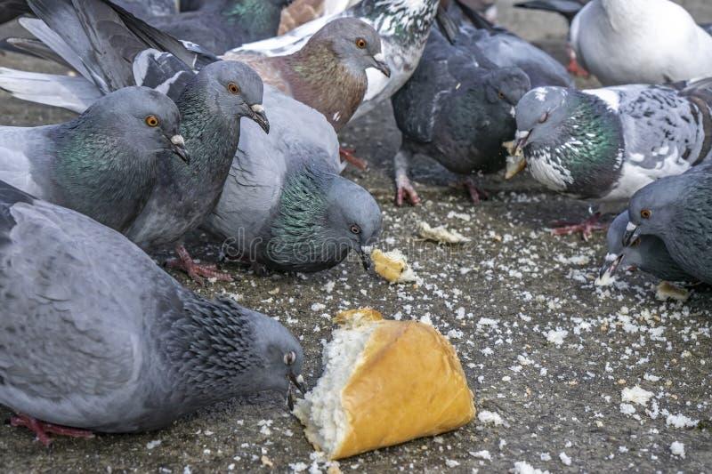 Duvor i parkera som äter bröd royaltyfria bilder