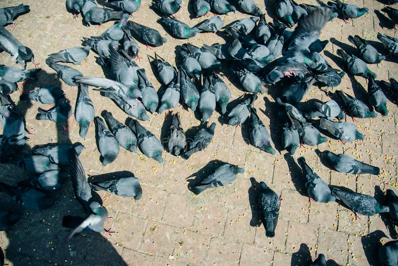 Duvor och duvor utgör Columbidaefågelfamiljen och Columbiformestruppen på asfalt royaltyfria foton