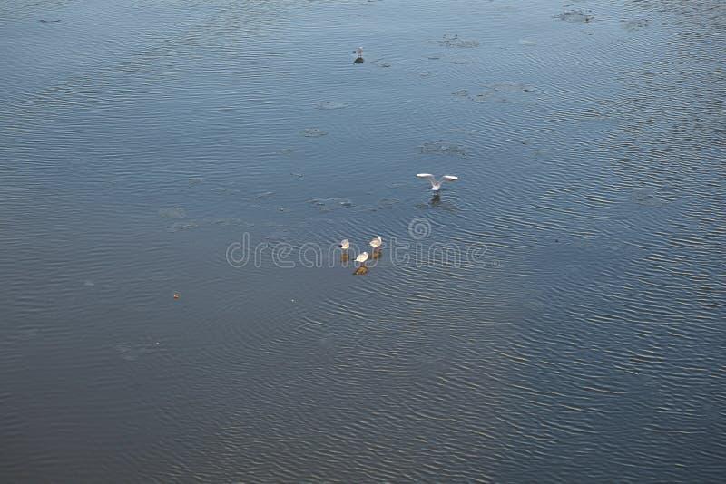 Duvor på en is flockas att sväva på floden arkivbild