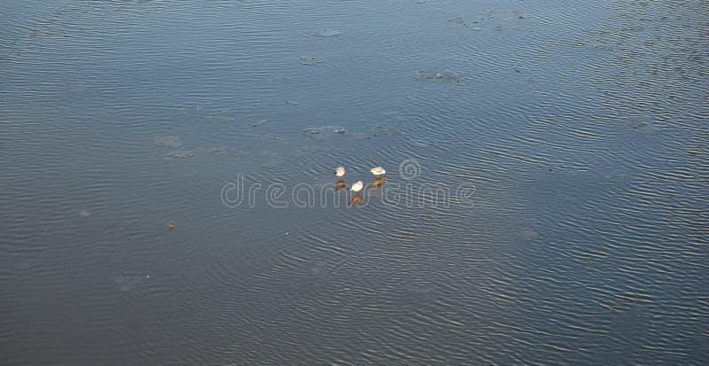 Duvor på en is flockas att sväva på floden fotografering för bildbyråer