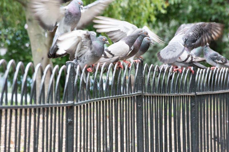 Duvor på räcke i en London parkerar arkivbilder